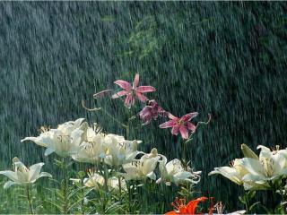 обои Лилии и дождь фото