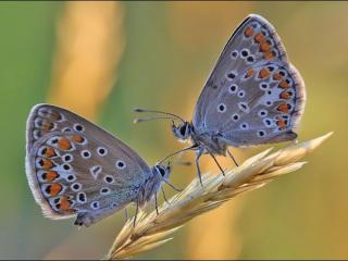 обои Две бабочки на колосоке фото