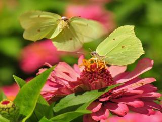 обои Две зелёных бабочки фото