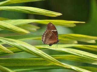 обои Коричневая бабочка фото