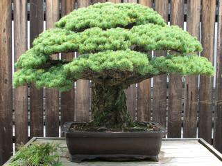 обои Карликовое хвойное дерево, летом фото