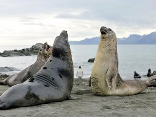 обои Два морских слона борятся фото