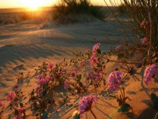 обои Цветение пустыни фото