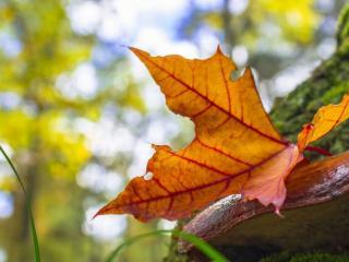 обои Осенний листок фото