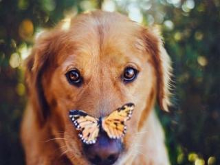 обои Рыжая бабочка и рыжий пёс фото