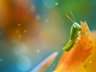 обои Зеленая саранча на желтом цветке фото