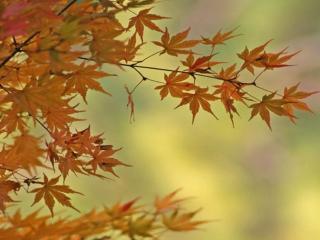 обои Листья осенние,   листья кленовые фото