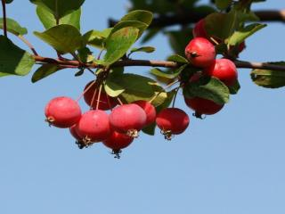 обои Райские яблочки фото