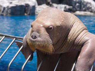 обои Бородатый морж фото