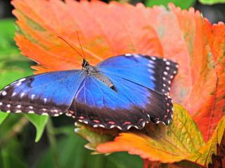 обои Голубая бабочка на осенним листике фото