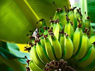 обои Поспевают бананы фото