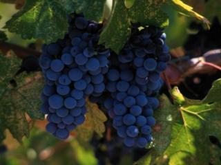 обои Спелый виноград фото