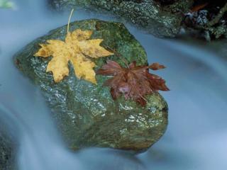 обои Осенние листья на речном камне фото
