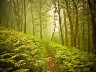 обои Туманный лес и папоротник у тропинки фото