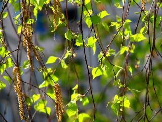 обои Цветут ветки дерева фото