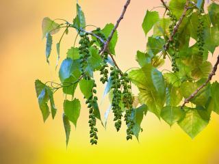 обои Зеленые ветки с бусами фото
