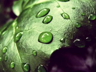 обои Капли на больших зеленых листьях фото