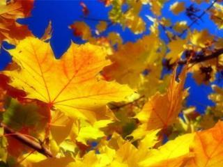 обои Листья осенние жёлтые,   красные фото