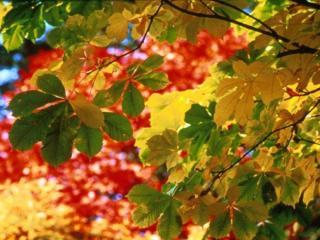 обои Осенние листья каштана фото