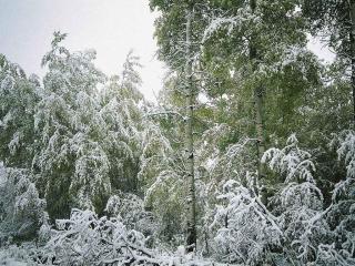 обои Деревья в снегу фото