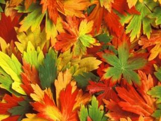 обои Листья осенние фото