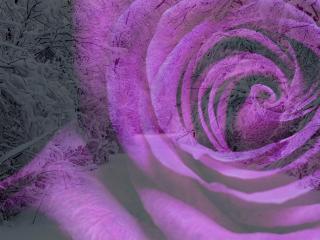 обои На фоне заснеженной аллеи серенивая роза фото