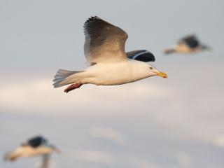обои Полёт птицы фото