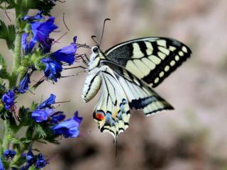 обои Бабочка и синие колокольчики фото