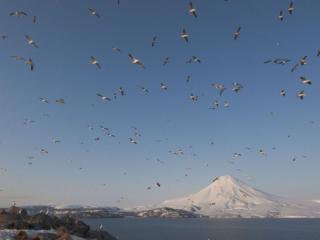 обои Птицы и вулкан фото