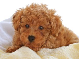 обои Милый коричневый щенок фото