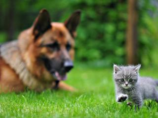 обои Пес следит за маленьким котенком фото
