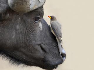 обои Красивая птичка сидит на морде буйвола фото
