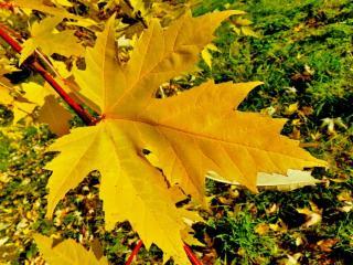 обои Жёлтый лист кленовый фото