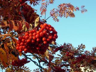 обои Крупная гроздь красной рябины фото