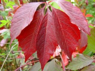 обои Осенний лист виноградника фото