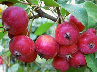 обои Спелые Райские яблочки фото