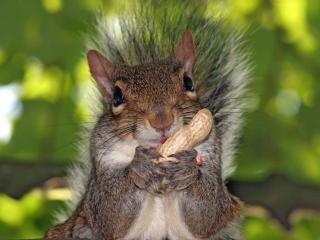 обои Бельченок ест арахис фото