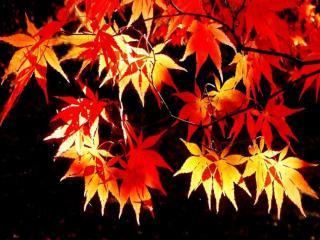 обои Красно-жёлтые листья фото
