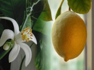обои Лимон - цвет и плод фото