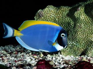 обои Синяя рыбка под водой фото