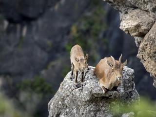обои Горные козлы на скале фото