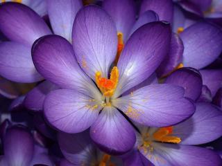 обои Пыльца на сиренневом цветке фото