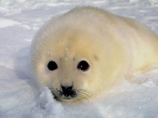 обои Белёк - гренландский маленький тюлень фото