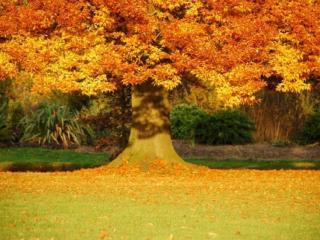 обои Большое осеннее дерево в парке фото