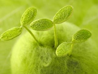 обои Три ростка растения фото