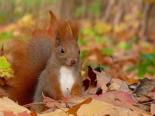 обои Рыжая белочка из листвы опавшей в парке фото