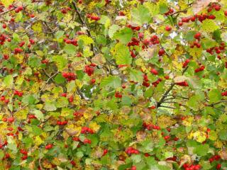 обои Осенние ягоды на деревьях фото