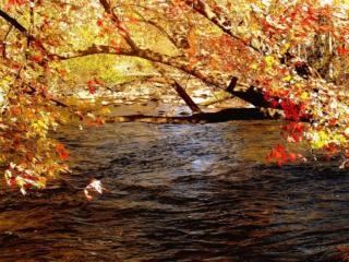 обои Осенний клён над водой фото