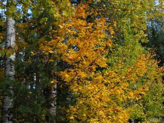 обои Ветки осеннего молодого клёна фото