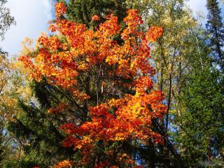 обои Осенний клён и ели, осень в лесу фото